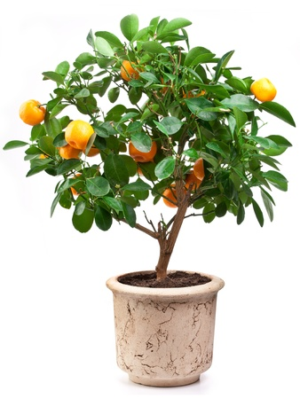 mandarin orange: Small tangerines tree on white background.
