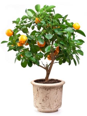 mandarine: Small tangerines tree on white background.
