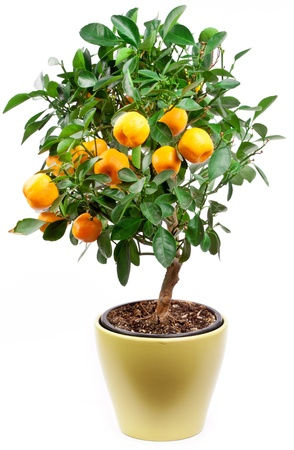 Small tangerines tree on white background.