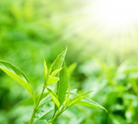 hojas de te: Hojas de t� en una plantaci�n en los haces de luz solar.