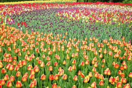 field of flowers: Field with colorful tulips Stock Photo