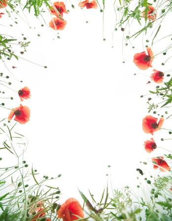 Frame of  tender poppy flowers.  photo