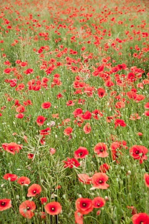 Field of wild poppy flowers.  photo