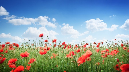 Wild poppy flowers on blue sky background.  photo