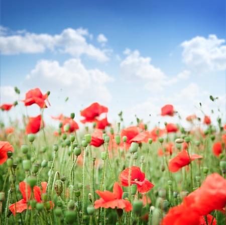 Wild poppy flowers on blue sky background.  photo