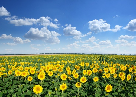 Sunflower field on a blue sky background.