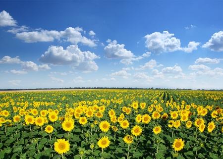 Sunflower field on a blue sky background. photo