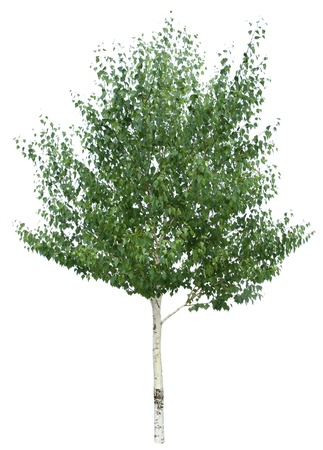 white birch tree: Green birch isolated on a white background.