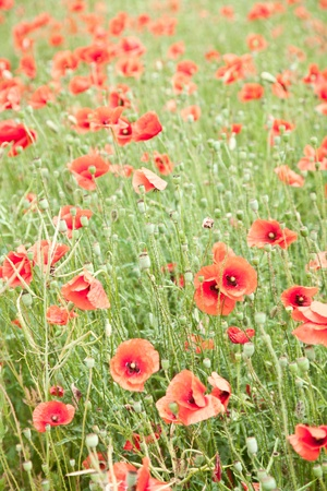 Field of wild poppy flowers.  photo
