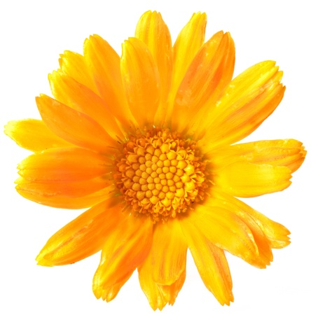 Calendula flower isolated on a white background.