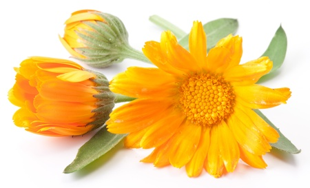 homeopathy: Calendula flower isolated on a white background.