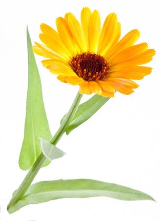 calendula: Calendula flower isolated on a white background.