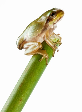 tree frog: Little frog over rush isolated on a white background.