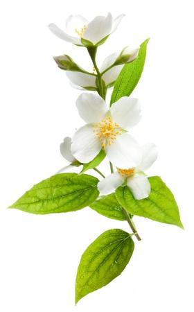 Jasmine bloemen geà ¯ soleerd op een witte achtergrond. Stockfoto