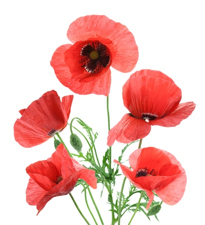 Beautiful red poppies isolated on a white background. photo