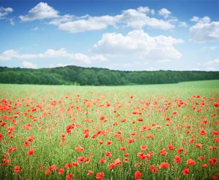 Field of wild poppy flowers on blue sky background.  photo