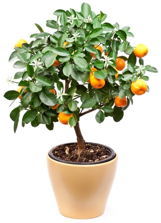 Small tangerines tree on white background. photo