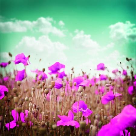 medow: Pink poppy flowers on a green sky background.