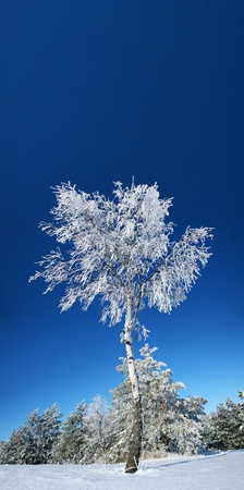 Lonely birch forest in winter. In the background the deep blue sky. photo