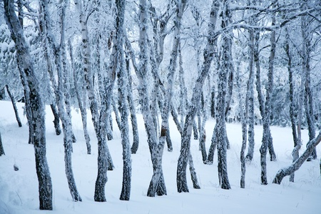 Winter forest, trees in frost. photo