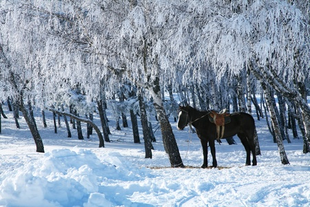 Winter morning. Horse against the frosty trees. photo