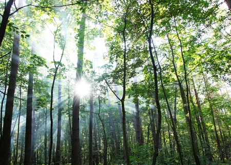 mystical forest: Suns rays shining through the trees in the forest. Stock Photo