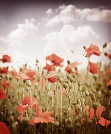 burgeon: Stylized old slide. The field of poppies in the sky. Stock Photo