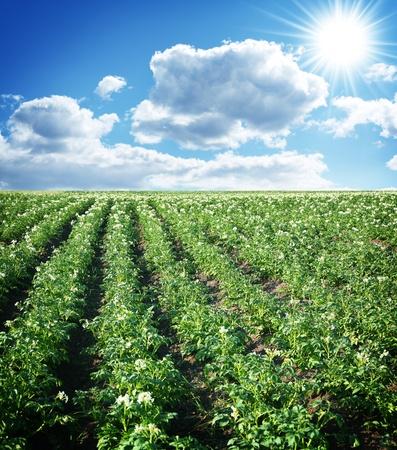Potato field against a blue sky and bright sun. photo