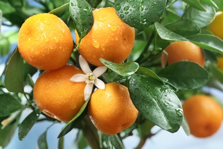 Ripe tangerines on a tree branch. Blue sky on the background. photo