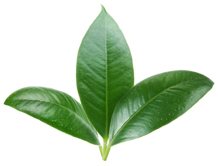 rubber plant: Three green leaf on white background