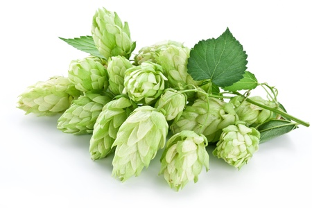 ferment: branch of hops on a white background Stock Photo