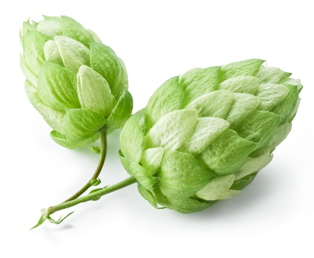 hop cone: branch of hops on a white background Stock Photo