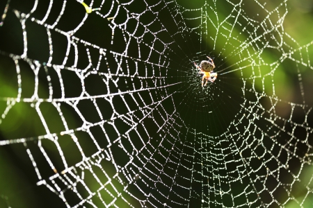 silk thread: Spider on the web   Stock Photo