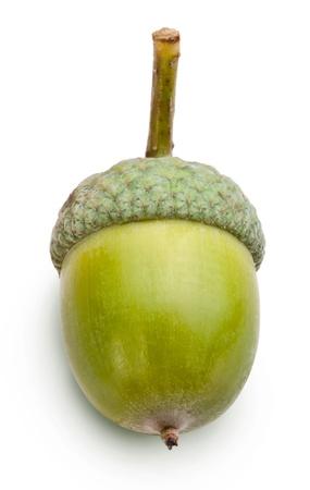 Acorn en un fondo blanco.