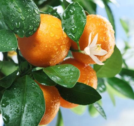citrus tree: Ripe tangerines on a tree branch  Blue sky on the background