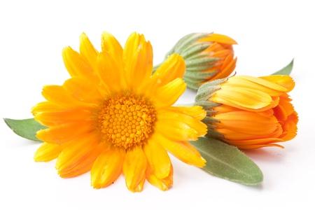 ringelblumen: Calendula Blume isoliert auf einem wei�en Hintergrund.