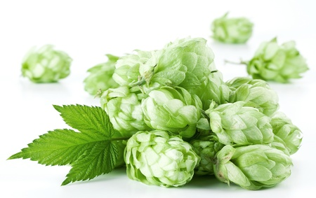 hop cone: Inflorescence of hops on a white background. Stock Photo