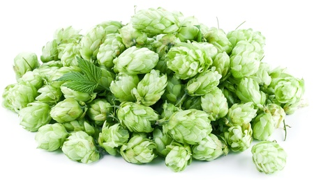 Inflorescence of hops on a white background. Stock Photo - 19841268