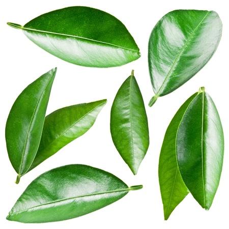 feuille arbre: Citrus laisse isol� sur un fond blanc. Banque d'images
