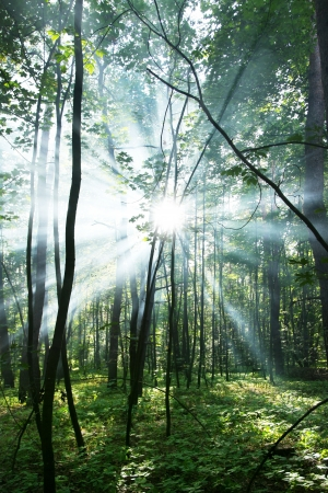 Sun's rays shining through the trees in the forest. photo