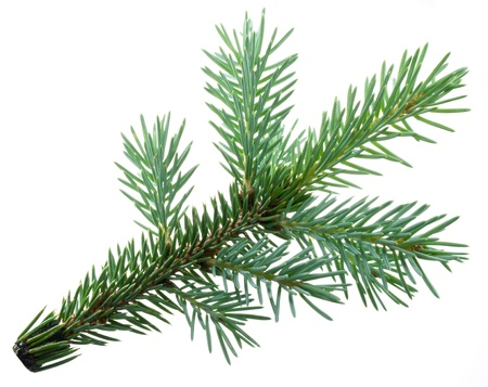 fir twig: Fir branch isolated on white background. Stock Photo