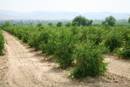 lambent: Field with pomegranate bushes.