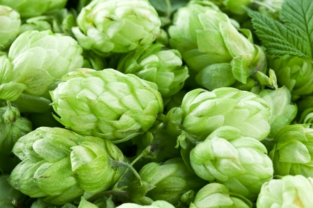 Hop cones as a green background. photo