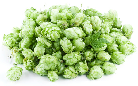 Inflorescence of hops on a white background. Stock Photo - 22266638
