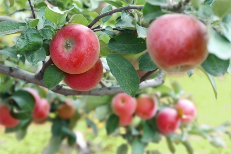 apple tree: Beautiful red-ripe apples on the branch. Close-up shot. Stock Photo
