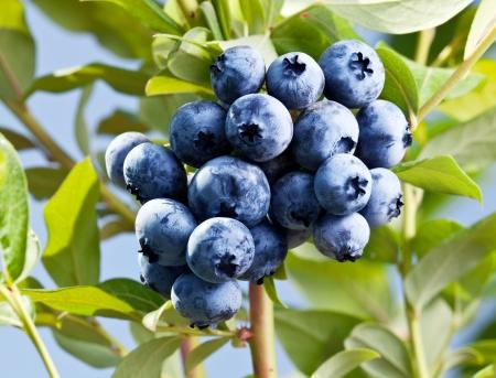 blueberry jam: Blueberries on a shrub. Macro shot.