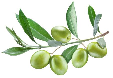 Zweig der Olivenbaum mit grünen Oliven auf sie isoliert auf einem weißen.