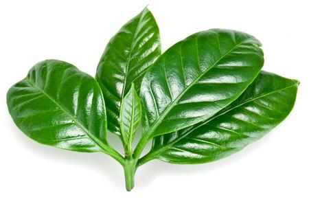 planta de cafe: Café verde deja aislados en un fondo blanco.
