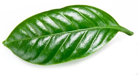 planta de cafe: El café verde hojas aisladas sobre un fondo blanco.