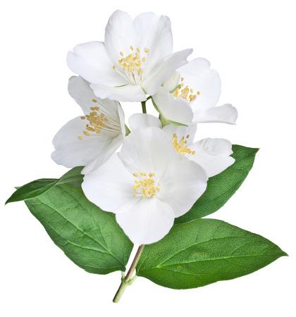 Blühen Jasmin Blumen mit Blättern isoliert auf weißem Hintergrund. Beschneidungspfad. Standard-Bild - 28800923